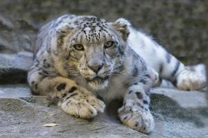 snow-leopard-1006542_1280